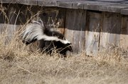 Skunks dig for grubs and can even take up residence on your property under your porch or garden shed. To avoid this, spray your lawn with a grub-treating product and secure any opening underneath your porch or around your foundation. Skunks are the most common animal to get rabies and often pass the infection to other animals such as cats, dogs and horses.