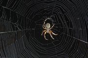 Strobes were placed on each side and one underneath the web of this spider to bring out its texture and detail of the web against the night sky.