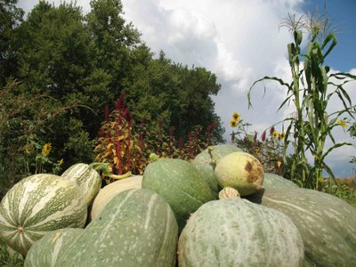 Hubbard squash, a plant native to the region, is among the crops being grown by Brett Ramey on the Iowa Reservation near White Cloud. The squash will be used in a variety of dishes this weekend at the Haskell Indian Nations University indigenous food festival. The event is one of many being held over the next week and half in celebration of Food Day.