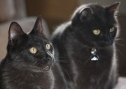 Oz and Dusty are two black cats that share the house with two other cats and two dogs. Both were rescue animals brought home by Katie Evans' family.
