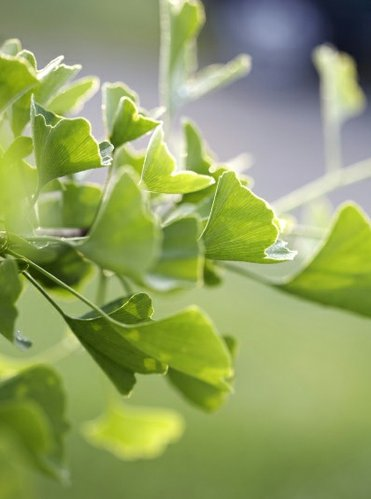 Ginkgo is one of the herbs harvested and processed by Gaia Herbs. Bill Chioffi, an educator and herbalist with the company will speak at 7 p.m., Wednesday, Oct. 26.
