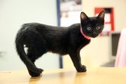 Jessie, a black kitten at the Lawrence Humane Society, is just as playful as any other kitten, but harder to adopt out because of her coat.
