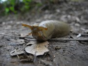 I placed my point-and-shoot camera on the ground, in macro mode and just inches away to capture this much larger than life-size slug in action. Because of the very limited depth-of-field only part of the head was in focus. I took several shots, guessing at the location of the slimy subject in my frame. At least he wasn't moving fast.