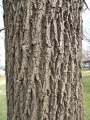 Some trees, like the black walnut here, are easily identifiable by their bark.