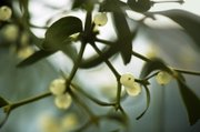 Mistletoe, a holiday staple, is actually a parasite that attaches to trees and saps the life out of the host by syphoning off nutrients and water.