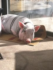 Owner Ehren Penix says his potbellied pig, Sparky, is clean, well-behaved and affectionate.
