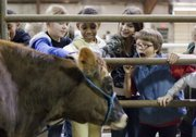 Fourth grade students from Pinckney School reach to pet a Jersey dairy cow at the Slice of Ag day at the Douglas County Fairgrounds Thursday, Jan. 26, 2012. From left are Bella Crawford-Parker, Tatiana Green, Mina Dailey and Eli Cohavi. Fourth graders from across Lawrence learned about farm animals, produce and equipment at the annual educational event.