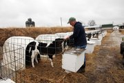 Scott Flory Feeds some new heifers on the Flory dairy farm.