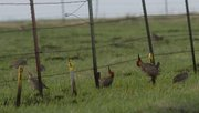 Greater prairie chickens are seen on the Konza Prairie, south of Manhattan.