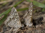 Hackberry Emperor butterflies, which will soon grace the KU Fitch Natural History Reservation by the thousands. The photo is from Dave Rintoul, the associate director of the biology division at Kansas Sate University. More than a decade ago, Rintoul saw a &quot;tornado&quot; of butterflies at a Fort Riley bird branding station. 