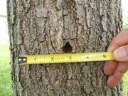 A borer exit hole, possibly from a Red oak borer, is seen on a northern red oak in northwest Lawrence.