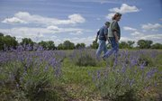 Jack and Kathy Wilson stroll through their Washington Creek Lavender farm southwest of Lawrence. The Wilsons grow and dry lavender to fill sachets, reusable dryer sheets, neck comforters, eye pillows, and coasters. They also bundle dry stems for firestarter and grow some culinary lavender. The farm is certified organic. 