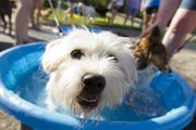 Pax, a 1-year-old Westie mix, cools off in a pool at Barkarusafest held Friday, June 15, 2012 in the parking lot outside of Pawsh Wash at the corner of Bob Billings Parkway and Wakarusa Drive.