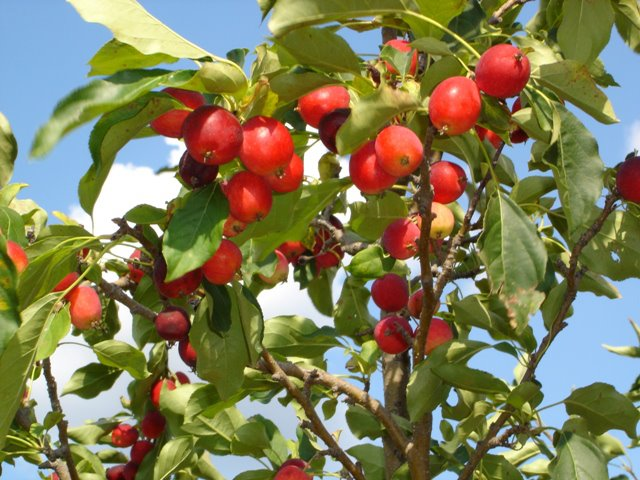 Crabapple trees fare well under the stress of heat and drought, as proven by these laden branches at Fieldstone Orchard.  Crabapples are available at the orchard or at Cottin&#39;s Hardware Farmers Market!