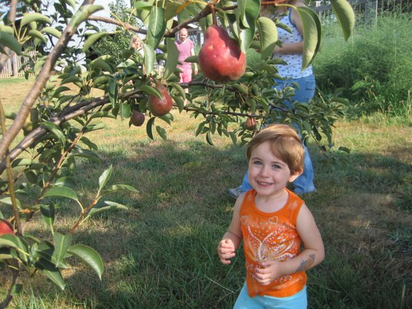Finding delicious pears at Maggie's Farm orchard!
