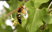 A cicada killer wasp rests on milkweed vine. Cicada killers are easily distinguished from yellowjackets and other wasps by their large size — they are about one and a half inches long. Yellowjackets and other wasps are typically 3/4-inch long.