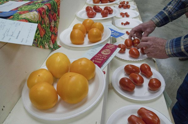 Open-class horticulture judge Lyle Turner inspects tomatoes Tuesday morning at the Douglas County Fair.