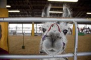 Llama judging at the Douglas County Fair drew few entries but a lot of onlookers.