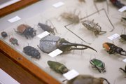 A tray of specimens features some of the largest beetles in the world as well as others from the neotropical region. 