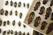 A tray of American Boring Beetles, which are a federally endangered species. 