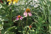 The coneflower bloom on the lower right is stunted and lacking petals  — probably due to infection with aster yellows disease. The other two blooms appear normal for comparison.
