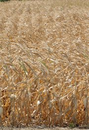 Dried corn plants stand in a field near Mead, Neb., Thursday, Aug. 9, 2012. The latest U.S. drought map shows that excessively dry conditions continue to worsen in the Midwest states that are key producers of corn and soybeans. This is the worst U.S. drought in decades. The weekly U.S. Drought Monitor map released Thursday, Aug. 9. 2012 shows that the area gripped by extreme or exceptional drought rose nearly 2 percent to 24.14 percent.