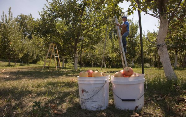 Ernest Richardson climbs a ladder to pick more Gala apples. He says this year's crop is the best he's ever seen. Other farmers, however, report different results.