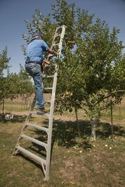 Ernest Richardson scales a tall ladder to get to to a batch of Gala apples.