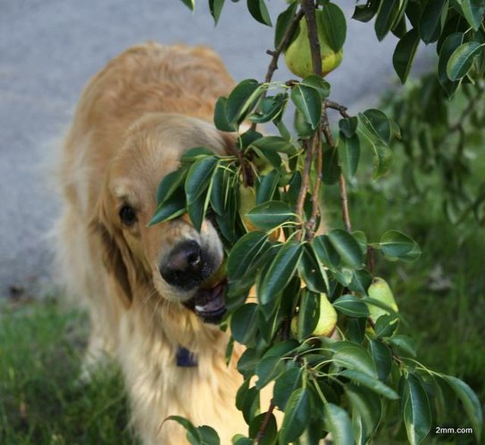 Jake, the pear eating golden retriever, enjoys a bountiful pear harvest despite the summer heat and drought. Photo by Julie Cottin.