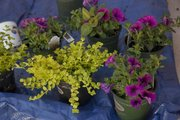 Pansies along with plants that creep can add color and fill a container on a patio or alongside a home.