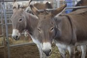Two of the wild burros that were up for sale.