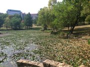 The surface of Kansas University's Potter Lake is about half covered with water lily plants, as seen on Monday, Aug. 27. The KU Environs student group is planning to host a volunteer cleanup day later this semester.
