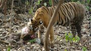 A Bengal tiger eats a deer in Ranthambore National Park.