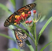 Monarch butterflies alight on a flower Monday in Lawrence. The butterflies are heading south to their winter habitat in Mexico. They stop in the Lawrence area, most notably in the wetlands, to refuel for their journey.