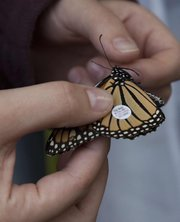 A small tag on a monarch butterfly will help track the butterfly's migration through the United States and into Mexico for winter. The Monarch Watch's tagging event saw fewer monarchs this year.
