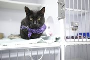 Eboni, pictured Sept. 25, has been at Lawrence Humane Society since April, longer than any of the other cats currently there.