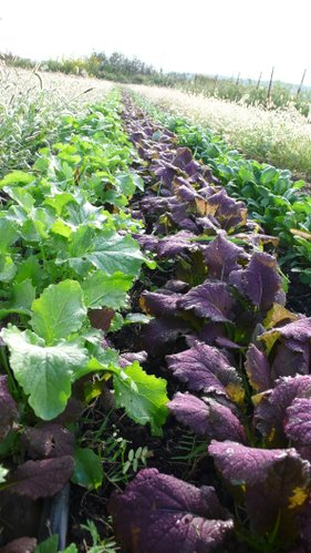 Mustard Greens and other cool season crops are in abundance at local farmers markets this month.
