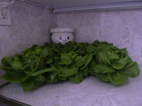 Decorate your kitchen with Two Sister's hydroponic lettuce!  It keeps fresh for days if stored in small bowls of water on your counter top... or make a beautiful edible lettuce arrangement at the center of your table!