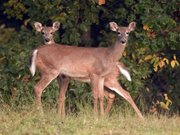 Two deer graze recently north of town. As the weather cools, the rutting season heats up, and deer are more active along the roads. Drivers should be especially alert for deer movement in the early morning and evening hours.