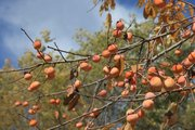 A persimmon tree in North Lawrence sits full of fruit. Some old wives tales say the seed can tell what kind of winter it will be. The Farmers Almanac says that fork-shaped seeds tell of a mild winter, while knife-shaped seeds predict icy coldness and wind. Spoon-shaped seeds represent the shovel you will need to dig out from heavy snows.