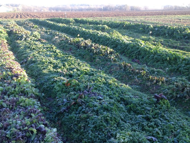 Frost-covered greens at the Red Tractor Farm in southern Douglas County