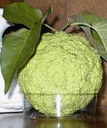 Known enemy to cyclists everywhere: Behold, the evil hedge apple.