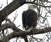 A bald eagle sits on a nest at Bismarck Lake as bird-watchers took part in the annual Christmas bird count in Douglas County on Saturday.