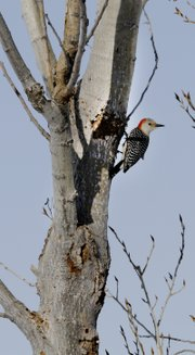 A red-bellied woodpecker clings to a tree that has bores. The woodpeckers are bringing light to the tree's borer problem. Any bark loss from woodpecker pecking is less damaging to the tree than what the borers have already done. Mulch and insecticide treatments are options in dealing with the pests, but identifying what kind of borer species is present in the tree is important.