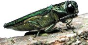 Originally from Asia, emerald ash borers spread through infested wood that's transported. Burn infested wood to destroy the borer's eggs and larvae.