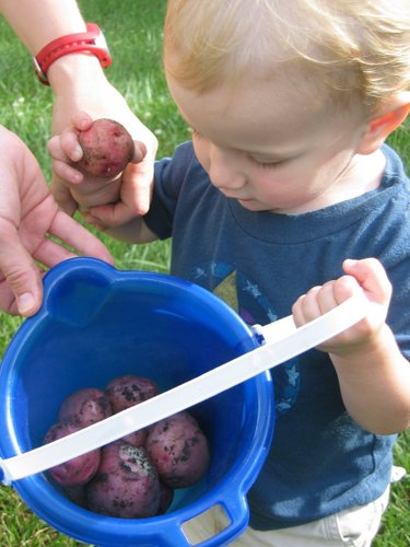 Our first potato haul a few years ago was pretty great, even the toddler can see that.