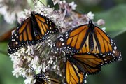 "Monarch butterflies aid in the process of pollination as they collect nectar from Asclepias flowers in the Disneynature documentary ""Wings of Life.""  The movie that gives a close look at winged creatures and how environmental degradation is decimating their natural habitats was partly filmed in Lawrence."