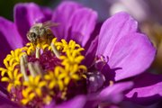 Hard at work, a honeybee finds nectar on a zinnia blossom.