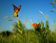 "In the middle of a milkweed field in Lawrence, two monarch butterflies mate as they fly through the air, in this scene from the documentary ""Wings of Life."" Film crews spent 14 days in the summer of 2010 in the Lawrence area, shooting milkweed fields in Douglas and Johnson counties. Chip Taylor, a Kansas University professor and expert in monarch butterflies, was an adviser for the film. Taylor also spent time with the production team in the monarchs' winter home in Mexico."