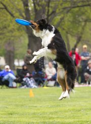 Towser, a Australian shepherd and border collie mix, flies through the air as he catches a flying disc during a competition at South Park Sunday afternoon.